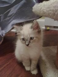 Ragdolls Is An Adoptable Ragdoll Cat In Westfield Ma We Have Two