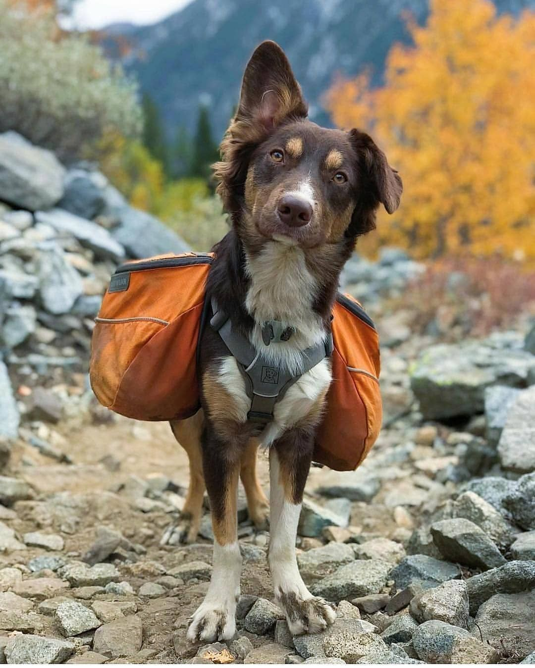 Hi Hooman You Want Me To Carry Stuff For You Do You Got With Your Dogs Yosemite National Park Dog Tags Dog Adventure Dogs