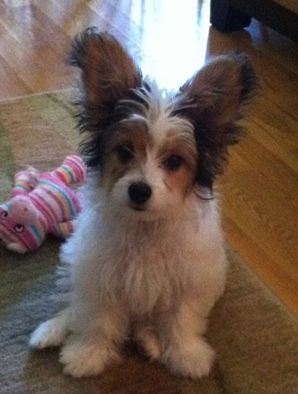 Papi Poo Dog Breed Health Temperament Feeding Training And Puppies Petguide Papillon Dog Poodle Mix Poodle Mix Breeds
