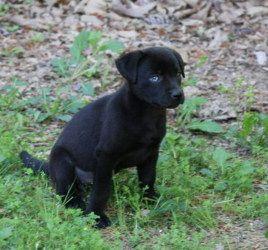 Black Labradors Labrador Retriever Dogs Puppies