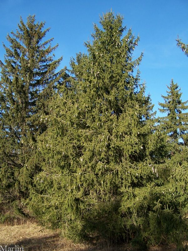 Norway Spruce Picea Abies Norway Spruce Wood Is Strong Soft