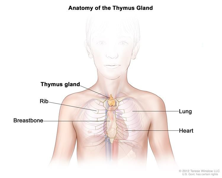 Anatomy Of The Thymus Gland Drawing Shows The Thymus Gland In The
