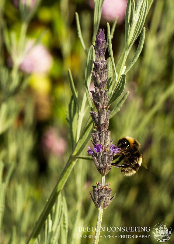 Bumblebee on Lavender | Photography, Bumble bee, Lavender
