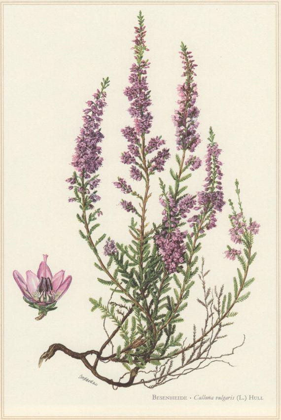 1960 Botanical Print, Calluna vulgaris, Heather, Vintage ...