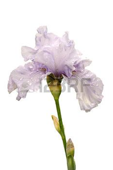iris flower rare light blue color, isolated on white background photo