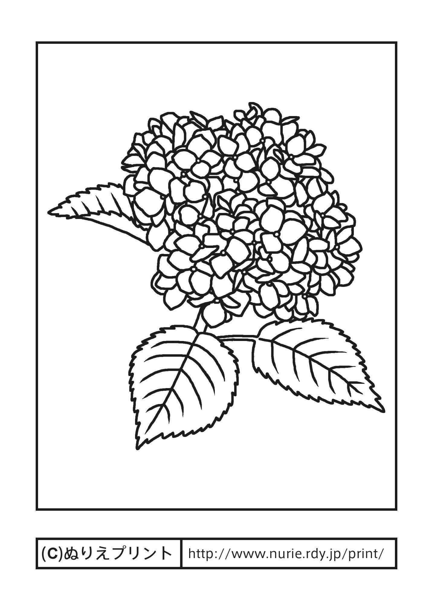 アジサイ主線黒夏の花無料塗り絵イラストぬりえプリント