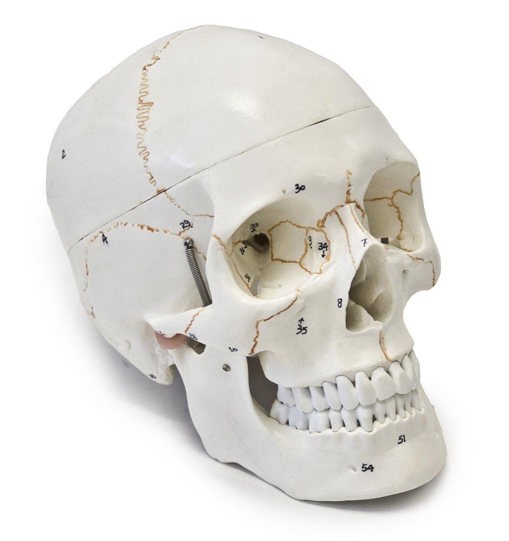 Wellden Medical Anatomical Human Skull Model, 3-part, Numbered, Life ...