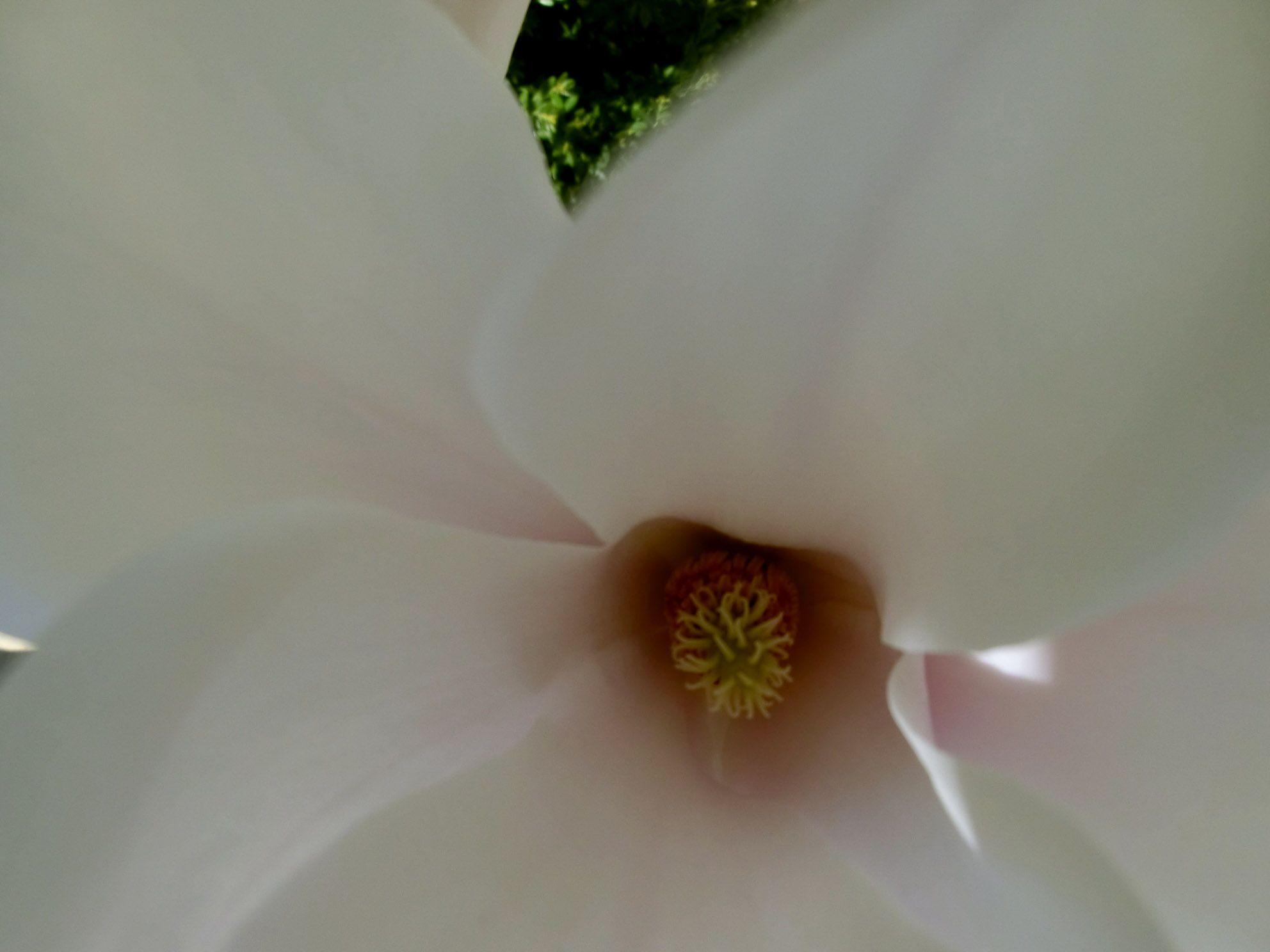 hart van een bloem Magnolia