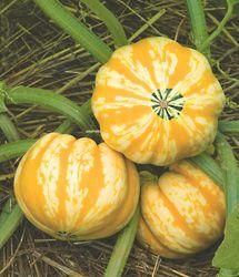 Acorn Squashes Vegetables Vegetable Seed Farm Gardens 640 x 480