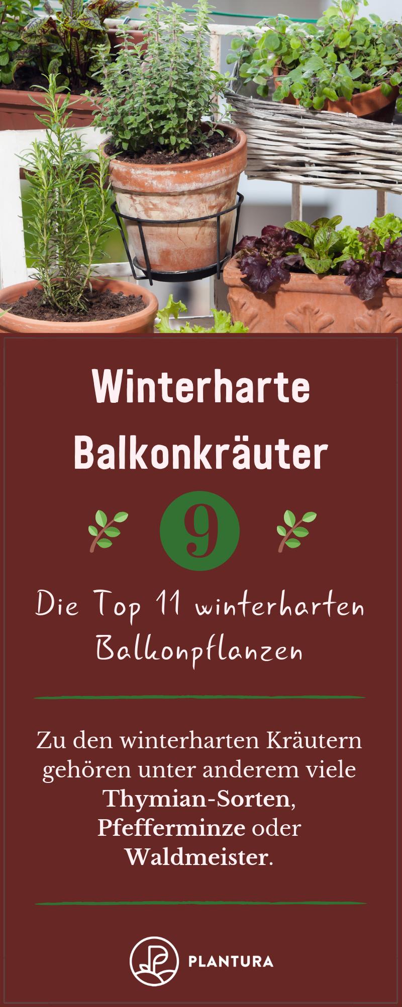 Die Top 11 winterharten Balkonpflanzen  Winterharte Balkonkräuter Viele winterharte Kräuter wie Thymian Pfefferminz und Waldmeister können den Winter auf d...