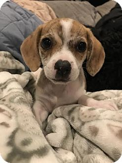 Houston Tx Beagle Dachshund Mix Meet Nacho A Puppy For