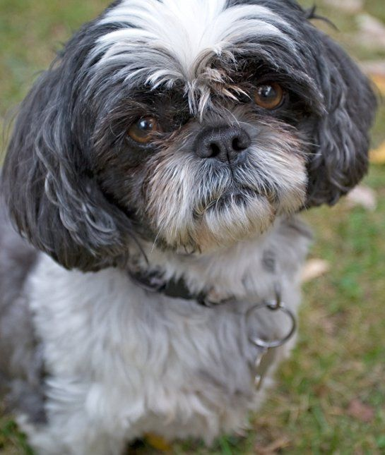 10 Cool Facts About Shih Tzus Dog Breeds Shih Tzu Dog Shih Tzu
