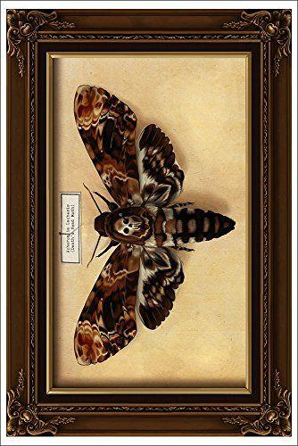 Death S Head Moth 12x18 Art Print Lantern Press Http Www Amazon Com Dp B00n5ce92k Ref Cm Sw R Pi Dp Jvy7ub0v3gx67 Zeichnungen Falter
