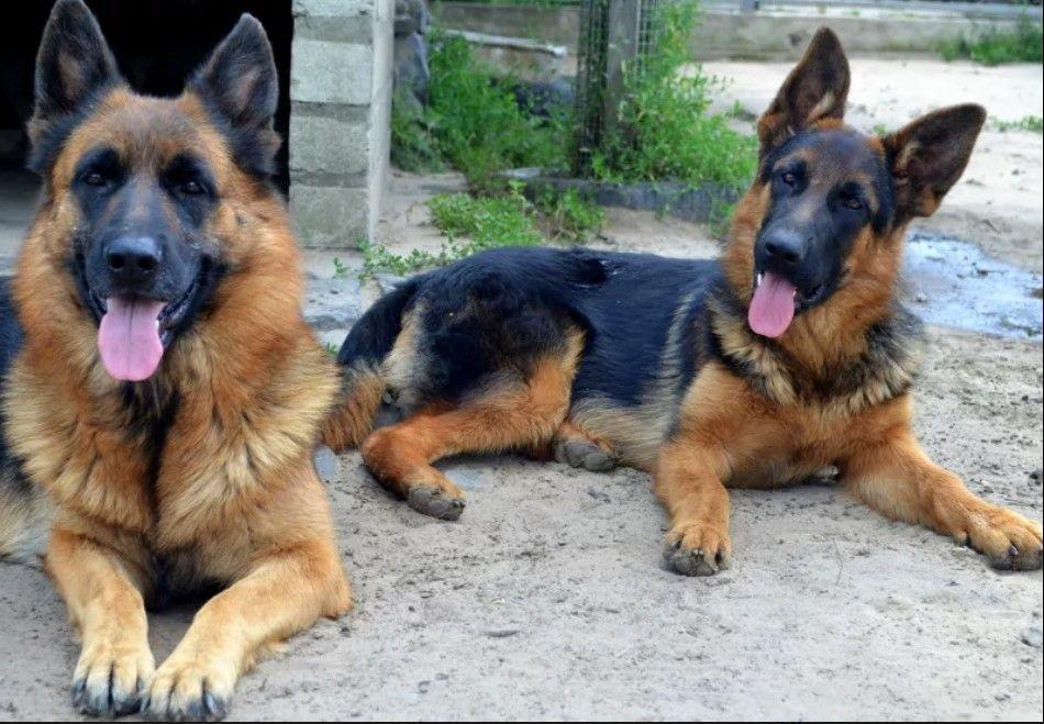 25 Things German Shepherd Dogs Don T Like German Shepherd Dogs