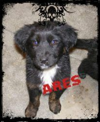 Ares is an adoptable Border Collie Dog in Albuquerque, NM. The Fluffy Seven - Border Collie/ Lab mix puppies! This litter was pulled from a High Kill Shelter in NM, we thought there were only two in t...