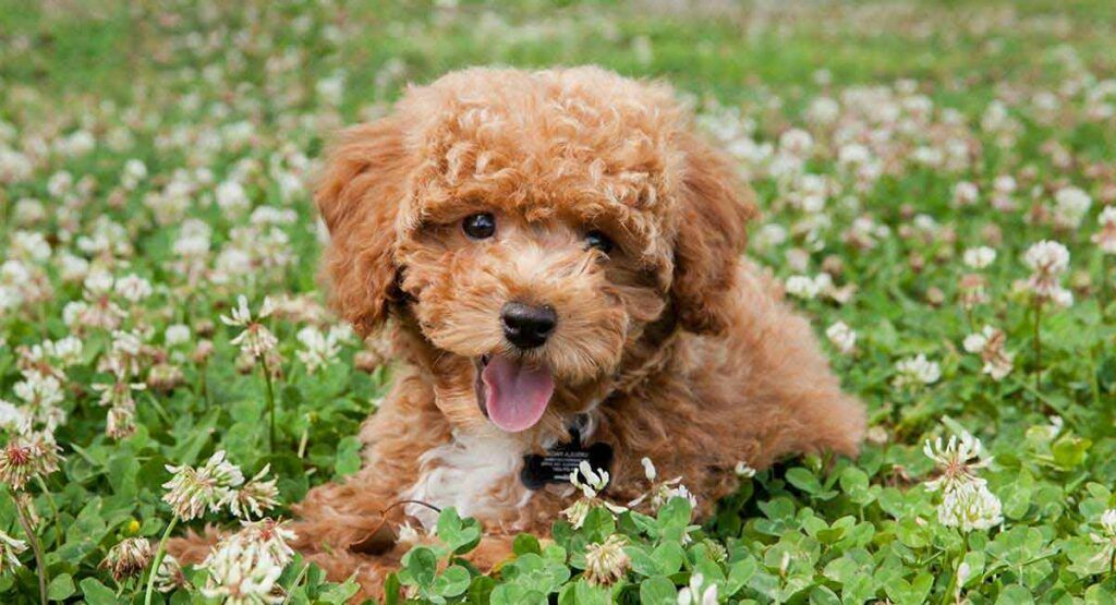 Small Poodle Mixes Top Ten Cute Curly Cross Breeds Teddy Bear