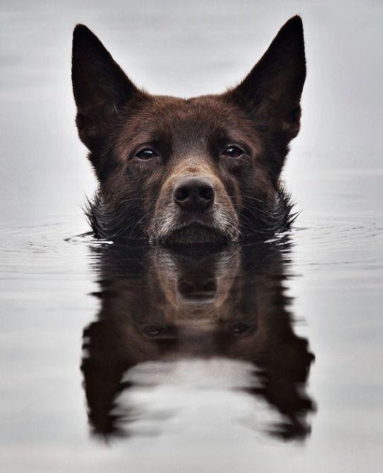Pin by Jaime Ward on Doggos   Dogs, Australian kelpie, Dog