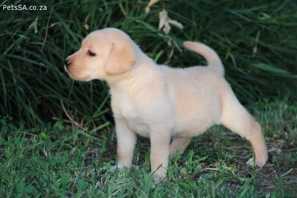 Yellow Labrador Puppies For Sale Gauteng Yellow Labrador Puppy