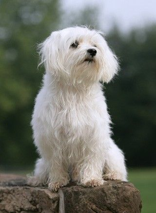 Malteser Hunderassen Malteser Hund Hunde Rassen
