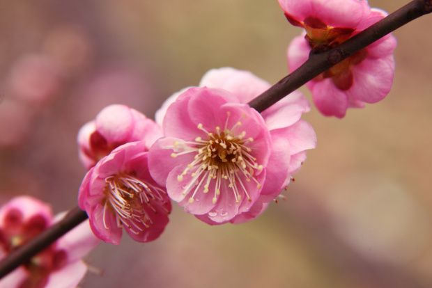 Difference Between Cherry Blossom And Plum Blossom Cherry Blossom Flowers Plum Flowers Blossom Tattoo