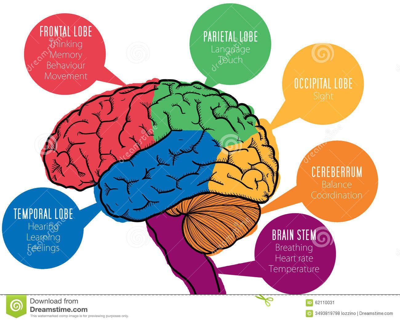 Stock Image: Human brain's functions. Image: 62110031 ...