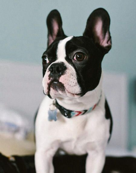 Rigby The Boston Terrier Mix Dog Breed Boston Terrier French