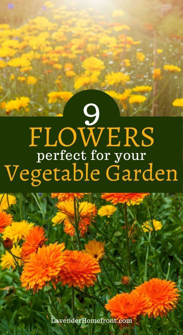 Learn about these great flowers that make perfect companions to vegetables! Planting flowers in your vegetable garden leads to healthier, happier plants! #gardeningtips #gardenplanting #gardenideas #vegetablegarden