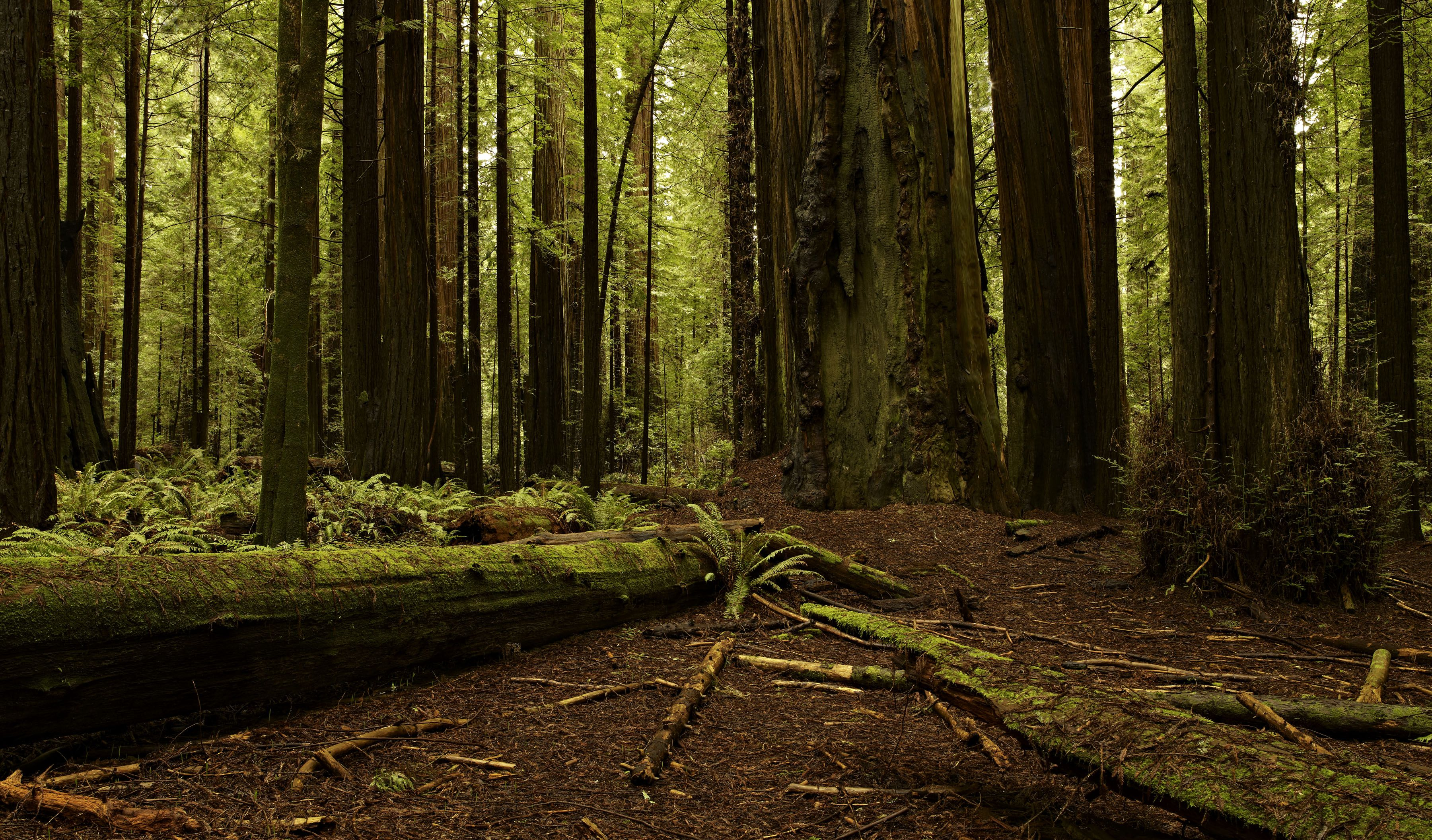 Redwood National Forest Ca Wooded Landscaping Green Nature Redwood Forest