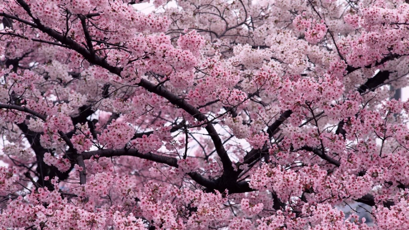 Full HD Cherry Blossoms Trees Flowers Landscape Nature High