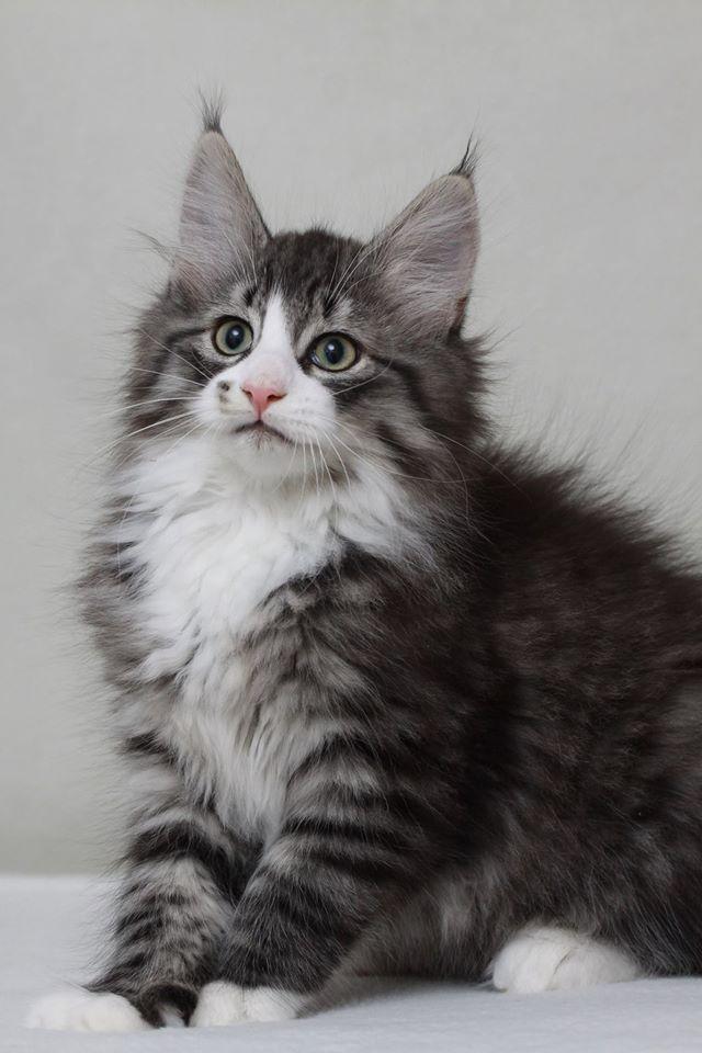 Epingle Par Susan Hrbek Sur Norwegian Forest Cats Noorse Boskat Animaux Chat