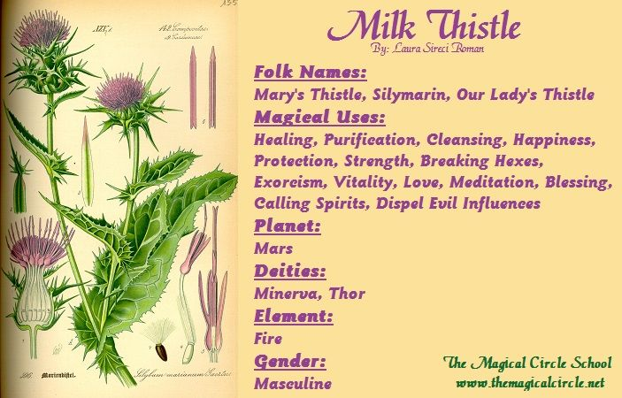 Milk Thistle Magical Properties - The Magical Circle School - www