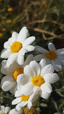 زهرة الاقحوان In 2021 Flowers Beautiful Pictures Daisy