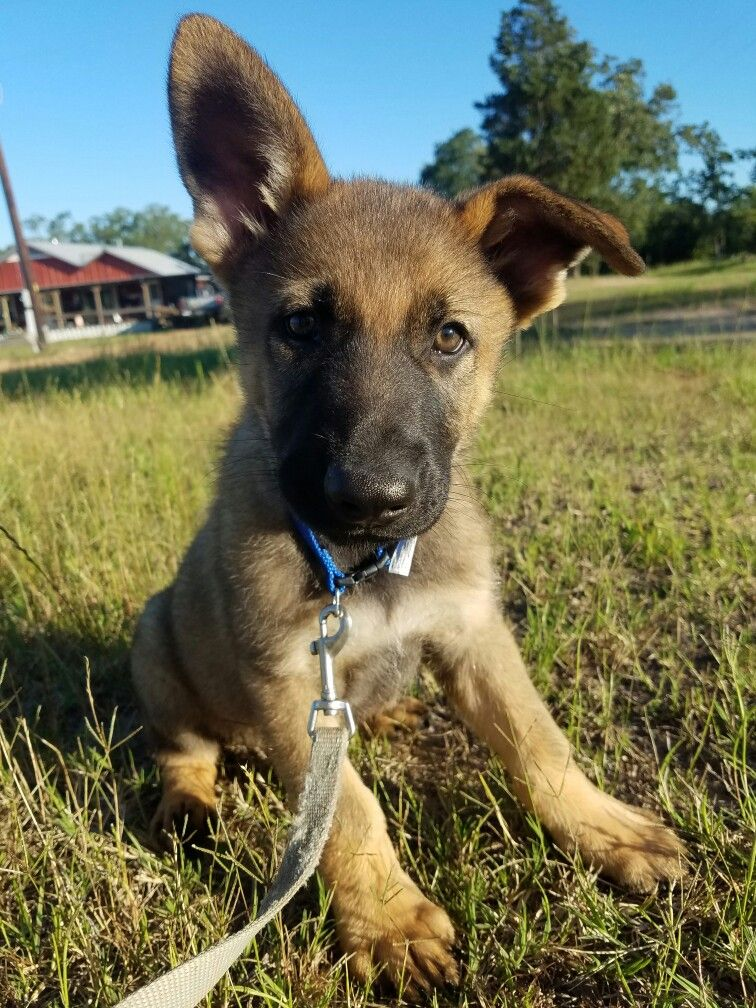 Black German Shepherd Puppies Texas
