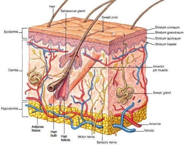 Hypodermis Skin Layers School Board Pinterest Anatomy Anatomy