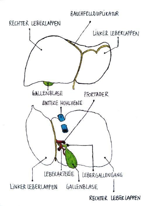 anatomie der leber | nutrition.cards | Pinterest | Medical