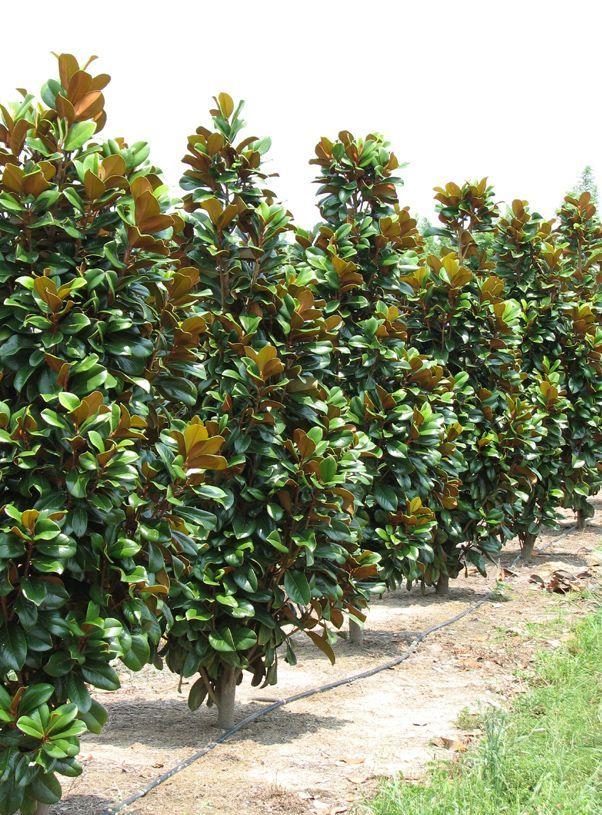 Southern Magnolia Magnolia Grandiflora North Carolina Native