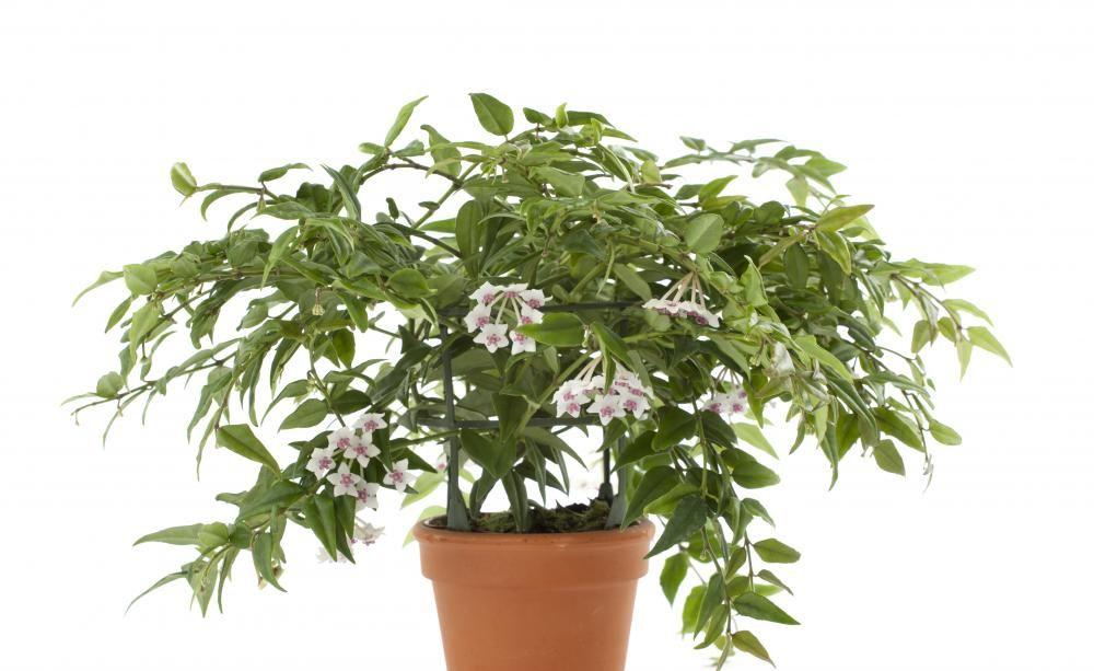 Wachsblume, Porzellanblume - Pflanzen, Pflege und Tipps - tipps pflege pflanzen wintergarten