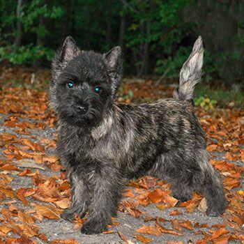 Cairn Terrier Photo Cairn Terrier Cairn Terrier Puppies Terrier