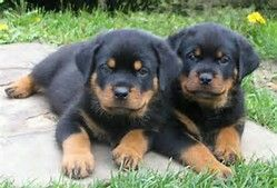 Rottweiler Puppies Rottweiler Dog Rottweiler Puppies For Sale