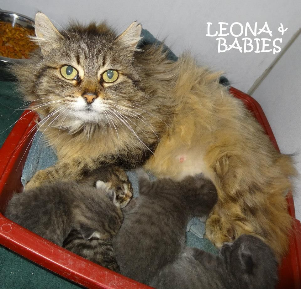 UPDATE-ADOPTED! AVAILABLE 4/21! STRAY Tag# 29605 Name is Leona (+4 babies) Main Coon  Female-not spayed   https://www.facebook.com/photo.php?fbid=622959784441511&set=a.622958921108264.1073741993.267166810020812&type=3&theater