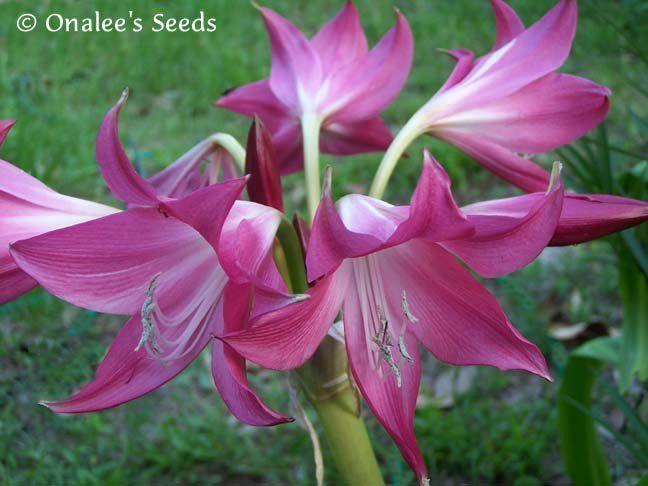 Crinum Lily super rare Pink Flamingo NEW medium-size bulb