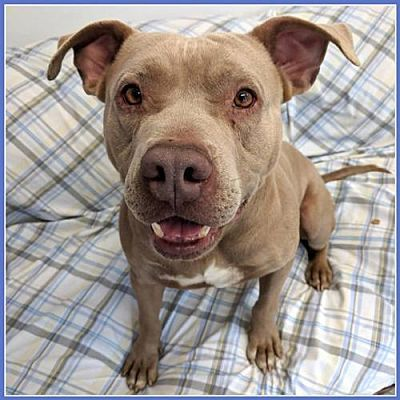 Williston Vt Pit Bull Terrier Meet Oslow A Dog For Adoption