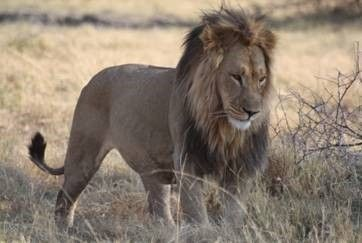 Another fierce feline seen on the African Safari!! Such a beauty! www.thecruiseplanner.com