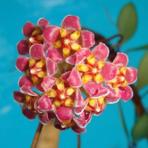 Hoya davidcummingii $$$ IML 0892 Hoya davidcummingii - $16.00 : Hoya Plants and Cuttings