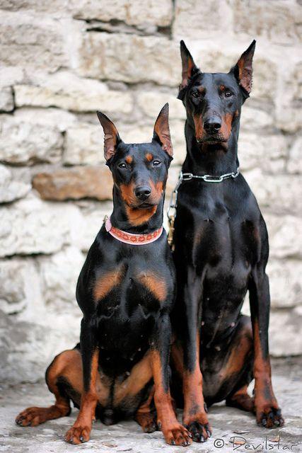 Tequila Devvu Beautiful Dogs Doberman Pinscher Dog Dog Breeds