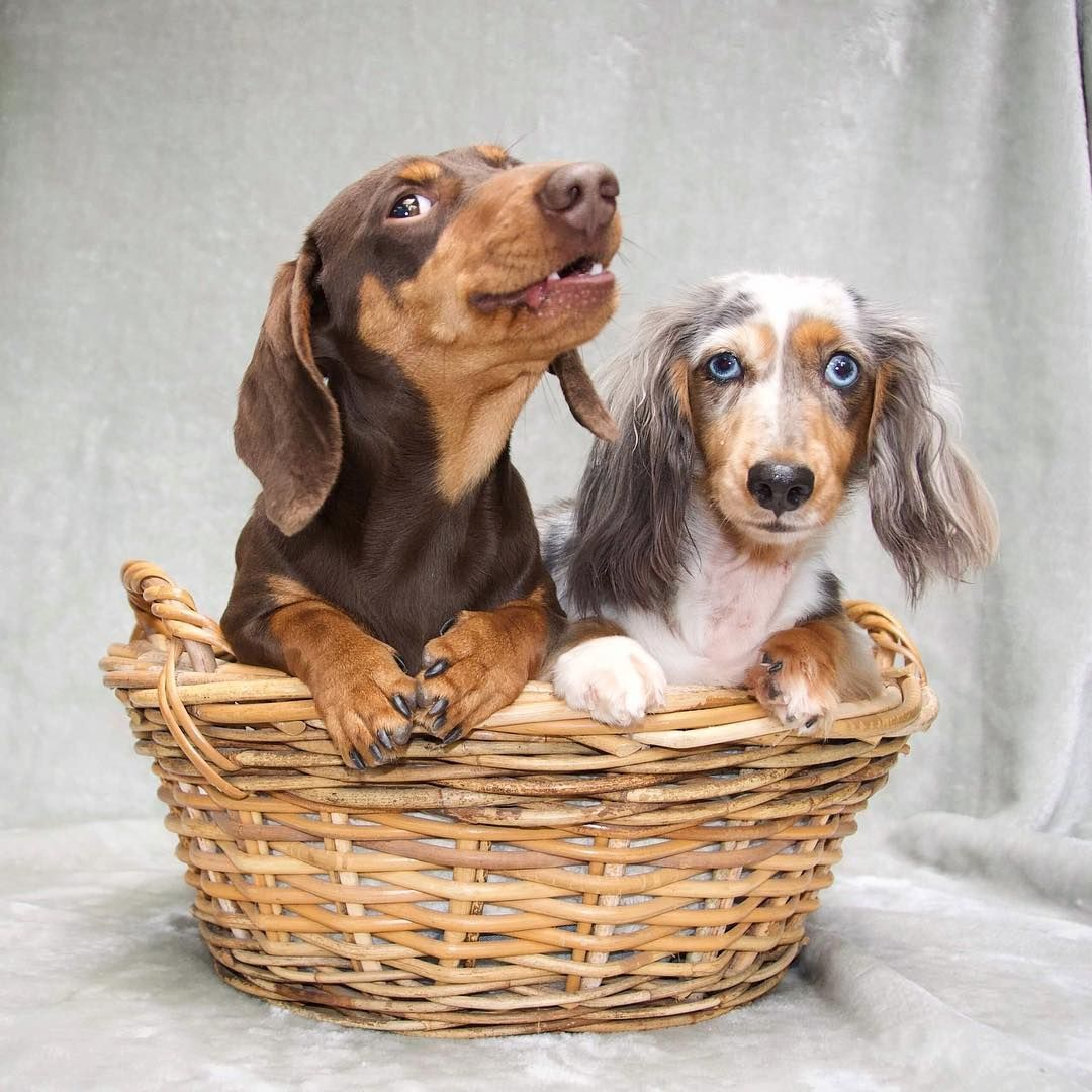 Credit Volli And Co Celebrity Dachshund Weenie Dogs Sausage