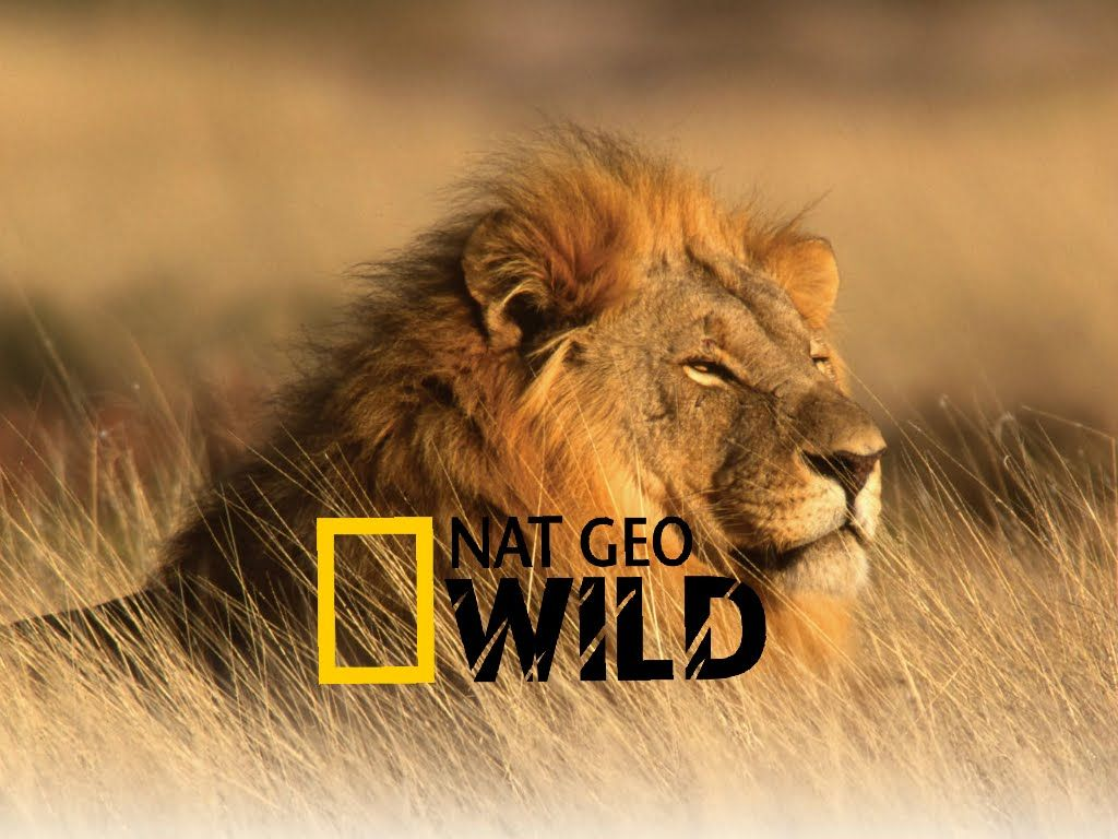 Lions the Best Hunters Ever! Wildlife Documentary