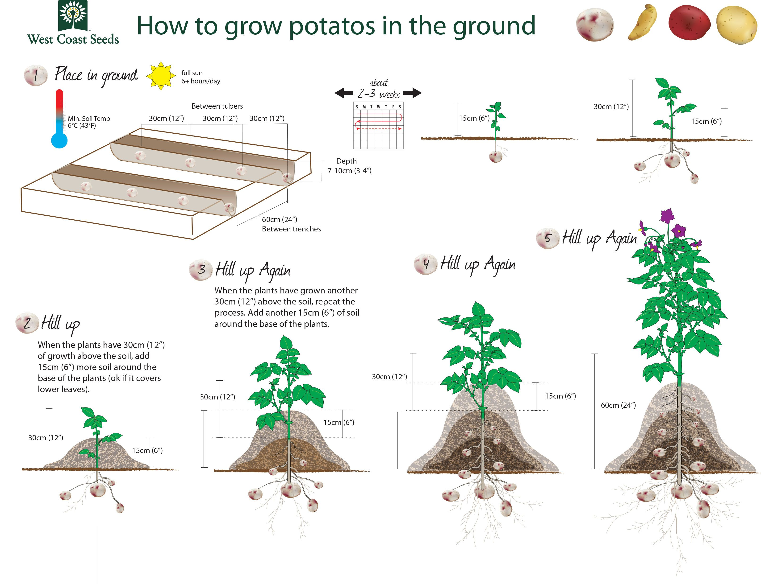 How to plant potatoes 80