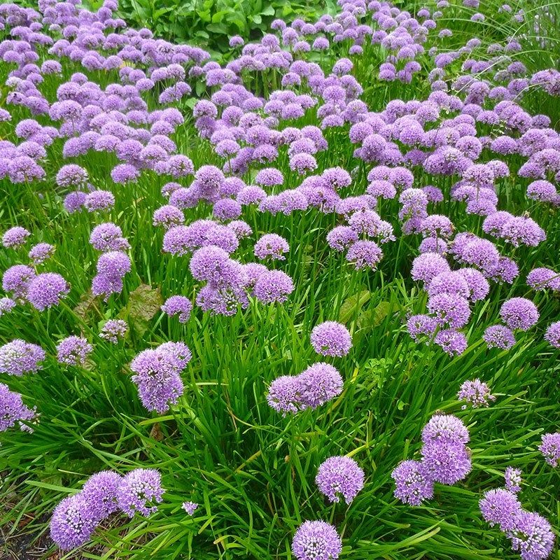 Allium Millenium Allium Flowers Perennials Plants