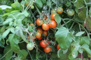 Sponsored Post by VegTrugs I always think the enthusiasm for grow-your-own wanes a little by midsummer. Early salad crops have come to an end and many of us are in the midst of a glut of courgettes and beans of various types. That isn't a complaint: I quite like enjoying...